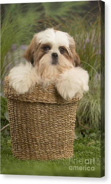 Shih Tzus Canvas Print - Cute Shih Tzu Dog Puppy In A Basket by Mary Evans Picture Library