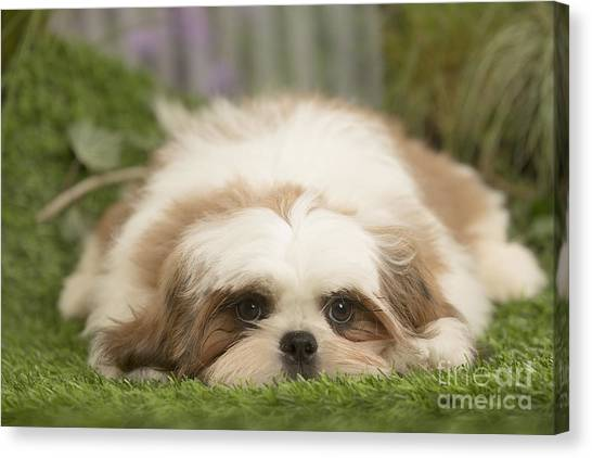 Shih Tzus Canvas Print - Cute Shih Tzu Dog Puppy  by Mary Evans Picture Library