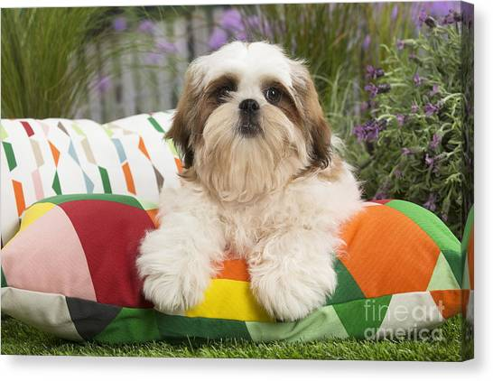 Shih Tzus Canvas Print - Cute Shih Tzu Dog Puppy On Cushion   by Mary Evans Picture Library