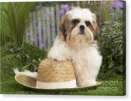 Shih Tzus Canvas Print - Cute Shih Tzu Dog Puppy With Straw Hat by Mary Evans Picture Library