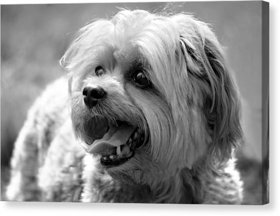 Cute Yorkie - Yorkshire Terrier Dog Canvas Print