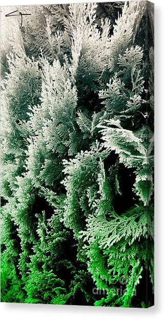Cypress Branches No.5 Canvas Print