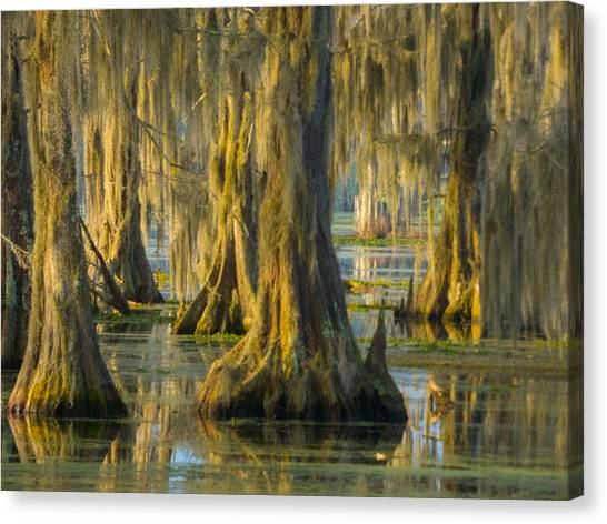 Cypress Canopy Uncovered Canvas Print