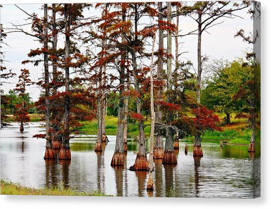 Cypress In Autumn Canvas Print