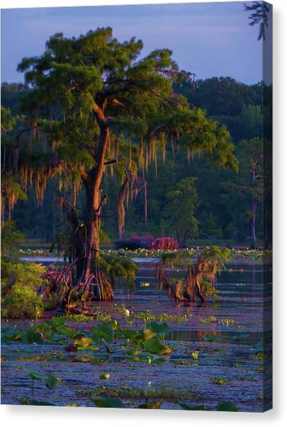 Cypress In The Sunset Canvas Print