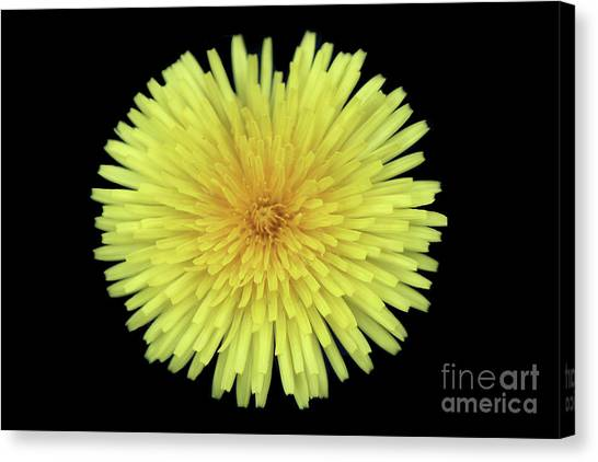 Dandelion Canvas Print by Jim Beckwith