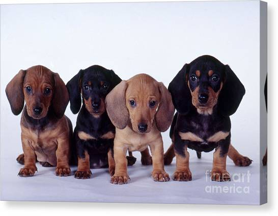 Dachshund Puppies  Canvas Print