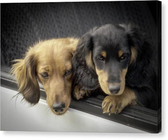 Canvas Print featuring the photograph Dachshunds by Samuel M Purvis III