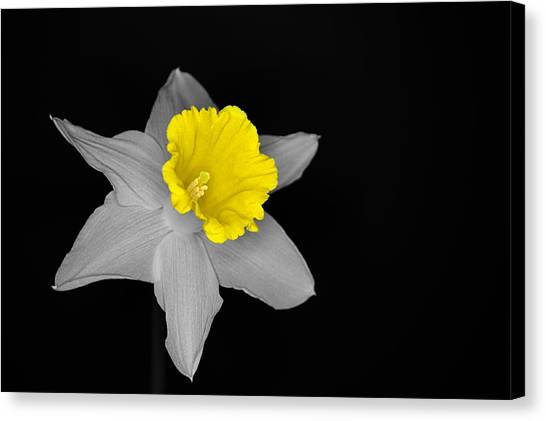 Daffo The Dilly Isolation Canvas Print