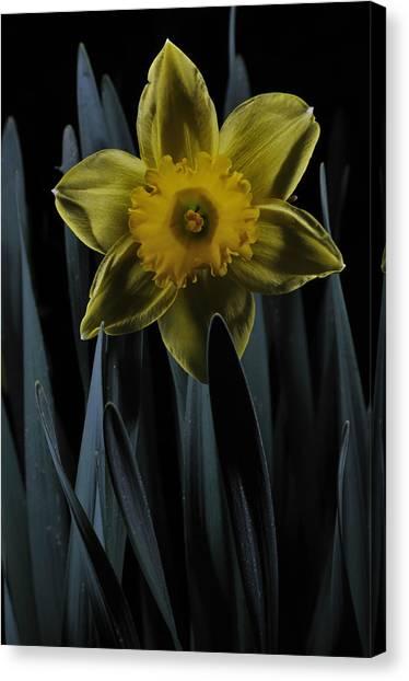 Daffodil By Moonlight Canvas Print