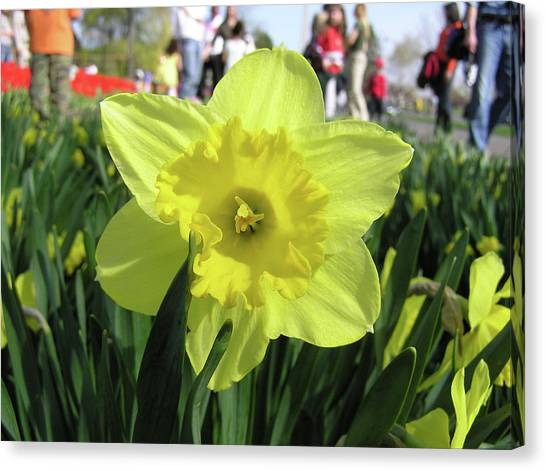 Daffodil Close Up Canvas Print by Richard Mitchell
