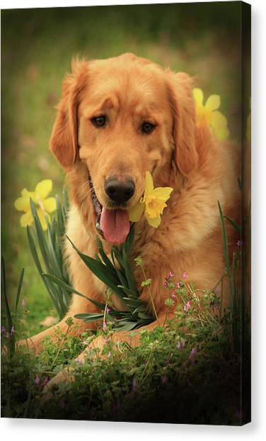Daffodil Dreams Canvas Print