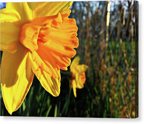 Daffodil Evening Canvas Print