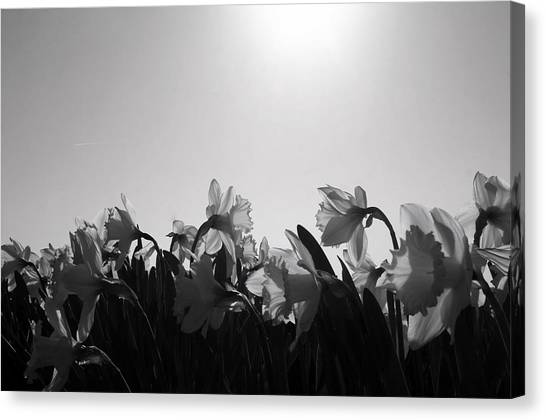 Daffodil Party Canvas Print by Karla DeCamp