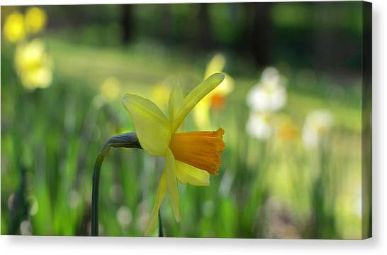Daffodil Side Profile Canvas Print