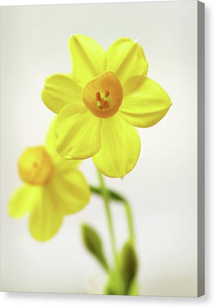 Daffodil Strong Canvas Print