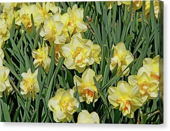 Canvas Print featuring the photograph Daffodilia by Lynda Lehmann