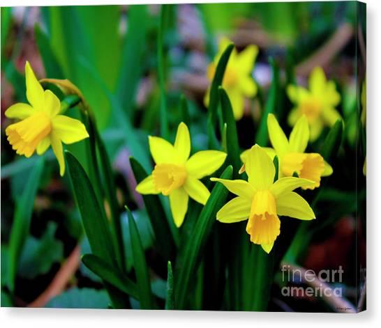 Daffodils A Symbol Of Spring Canvas Print