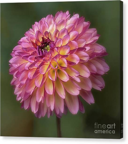 Canvas Print featuring the photograph Dahlia 'foxy Lady' by Ann Jacobson