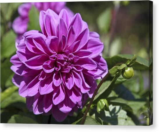 Dahlia Canvas Print by Frank Russell