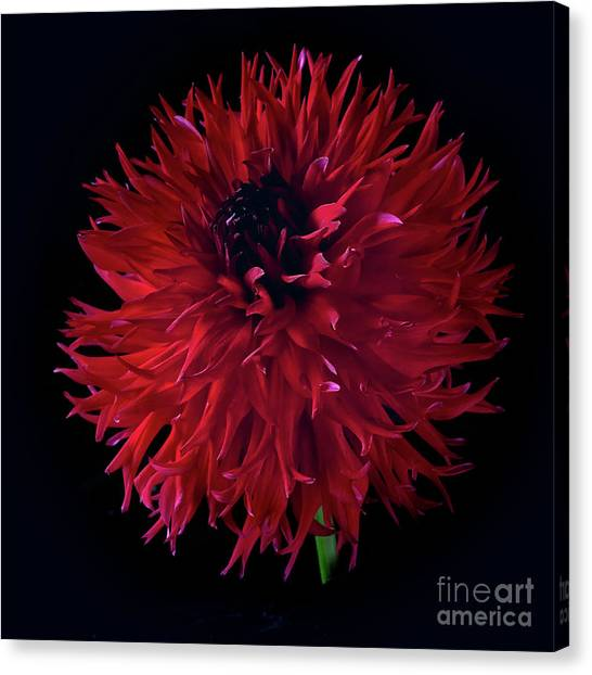 Dahlia 'holyhill Miss Scarlet' Canvas Print