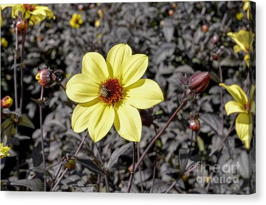 Colorado State University Canvas Print - Dahlia by Keith Ducker