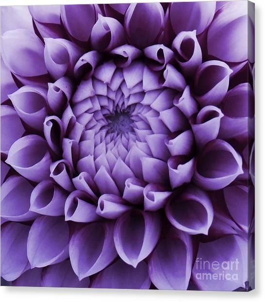 Dahlia Macro In Lavender Canvas Print