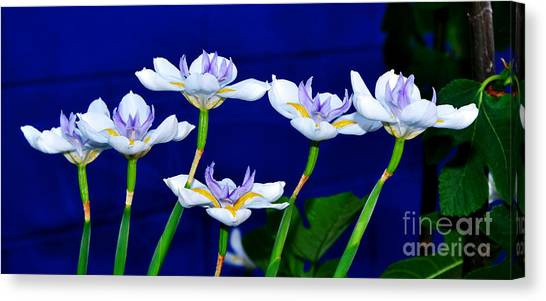 Dainty White Irises All In A Row Canvas Print