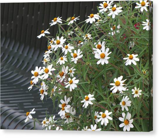 Daisies By The Bench Canvas Print by Sylvia Wanty