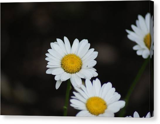 Daisies Canvas Print by Heather Green
