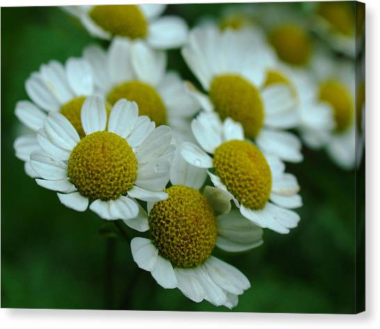 Daisies Canvas Print by Juergen Roth