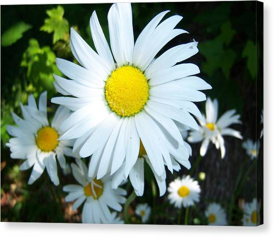 Daisies Canvas Print by Ken Day
