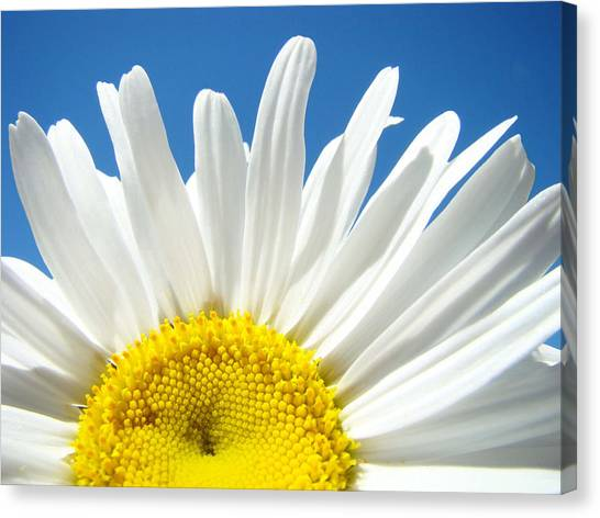 Daisy Canvas Print - Daisy Art Prints White Daisies Flowers Blue Sky by Baslee Troutman