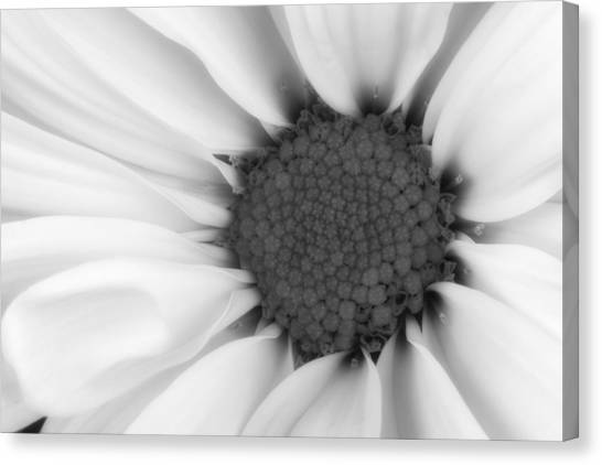 Daisy Canvas Print - Daisy Flower Macro by Tom Mc Nemar