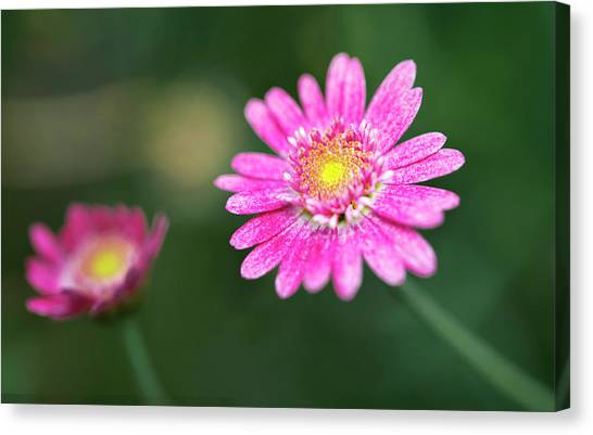 Canvas Print featuring the photograph Daisy Flower by Pradeep Raja Prints