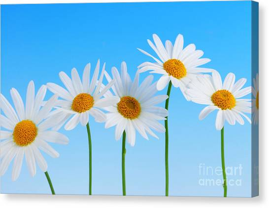 Daisy Canvas Print - Daisy Flowers On Blue by Elena Elisseeva