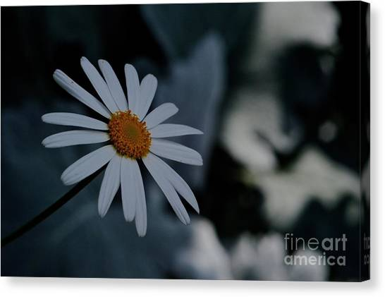 Daisy In Gloom Canvas Print