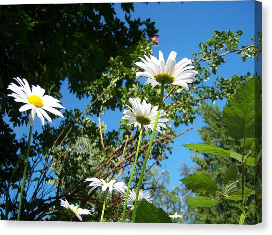 Daisy Rose Canvas Print by Ken Day