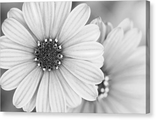 Canvas Print featuring the photograph Daisy Study by Margaret Pitcher