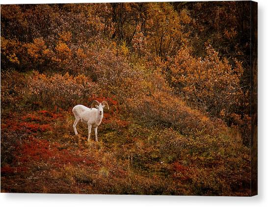 Dall Sheep Denali National Park Canvas Print