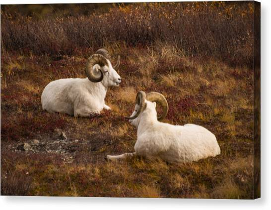 Wild Berries Canvas Print - Dall Sheep In Denali by Jeff Folger