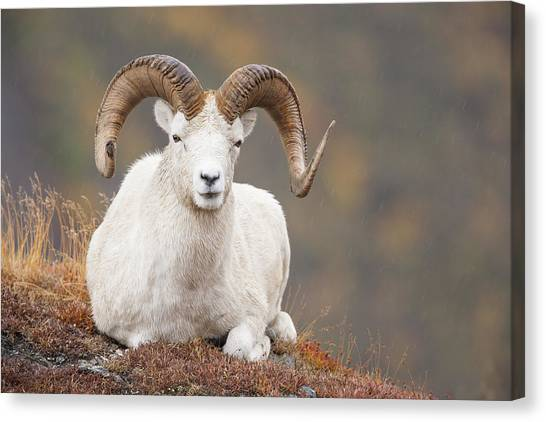 Large Mammals Canvas Print - Dall Sheep Ram by Tim Grams