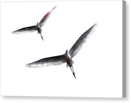 Dance Of The Egrets Canvas Print