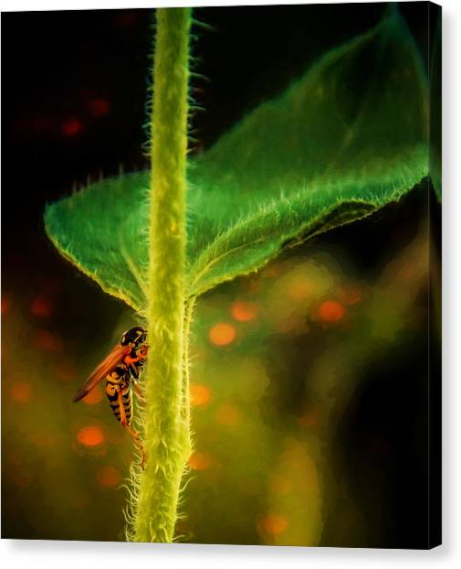Dance Of The Wasp Canvas Print