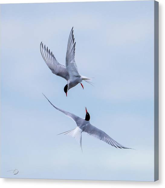 Dancing Arctic Terns Canvas Print