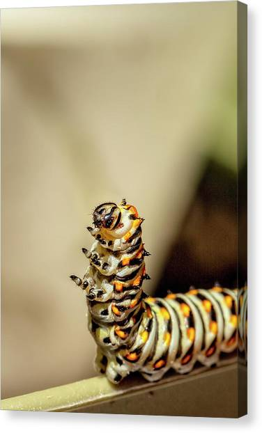 Caterpillers Canvas Print - Dancing Caterpiller by Kay Brewer