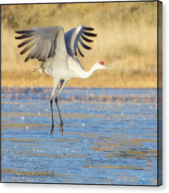 Dancing Crane Canvas Print