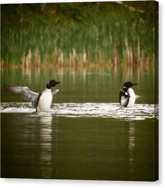 Minnesota Canvas Print - Dancing Loons. Minnesota Has The Best by Heidi Hermes