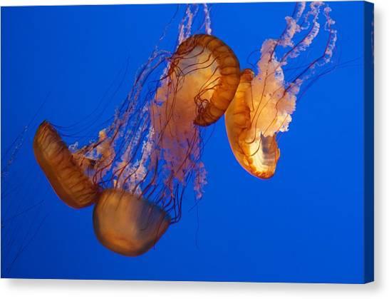 Dancing Sea Nettles Canvas Print