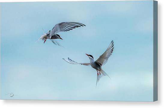 Dancing Terns Canvas Print